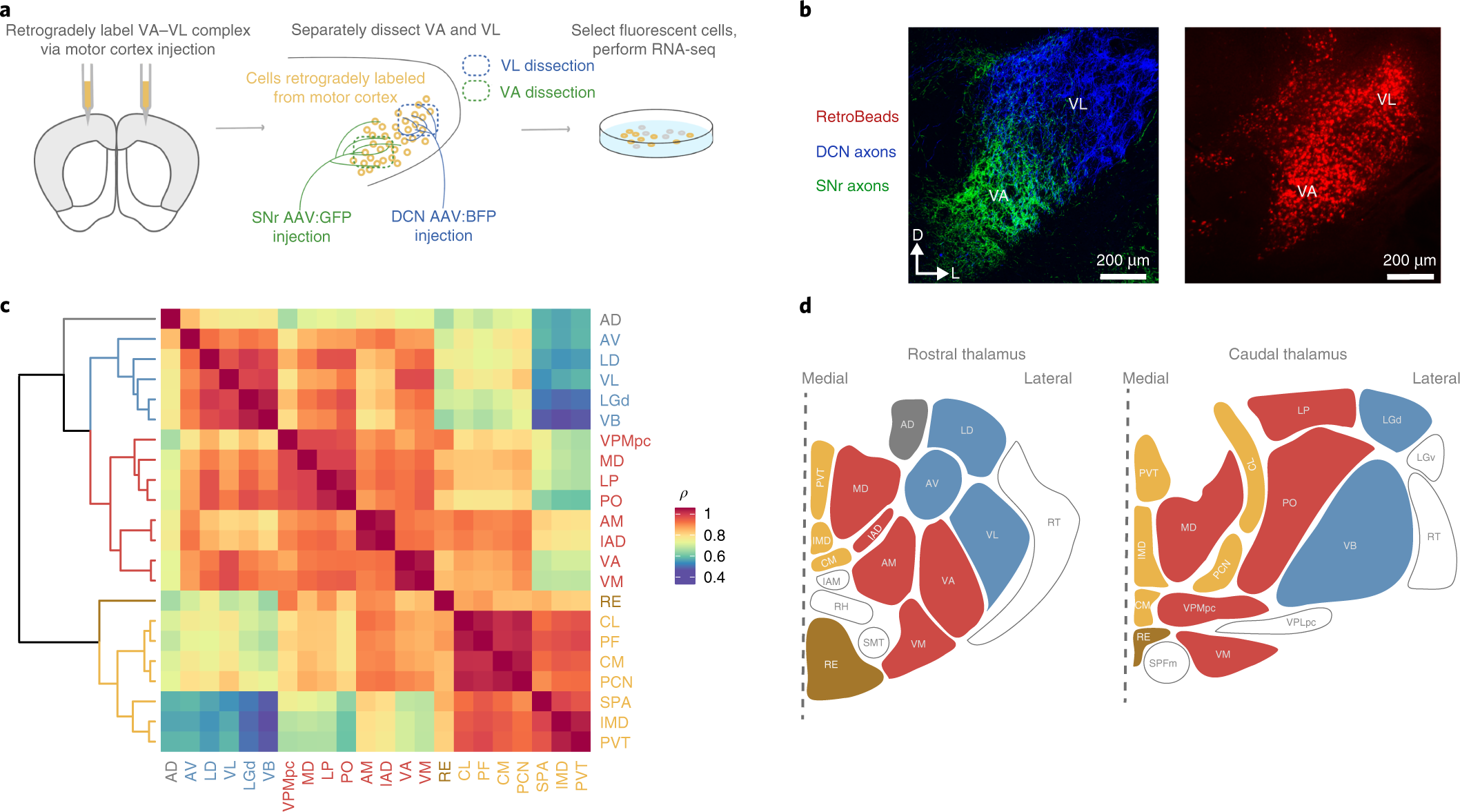 A repeated molecular architecture across thalamic pathways