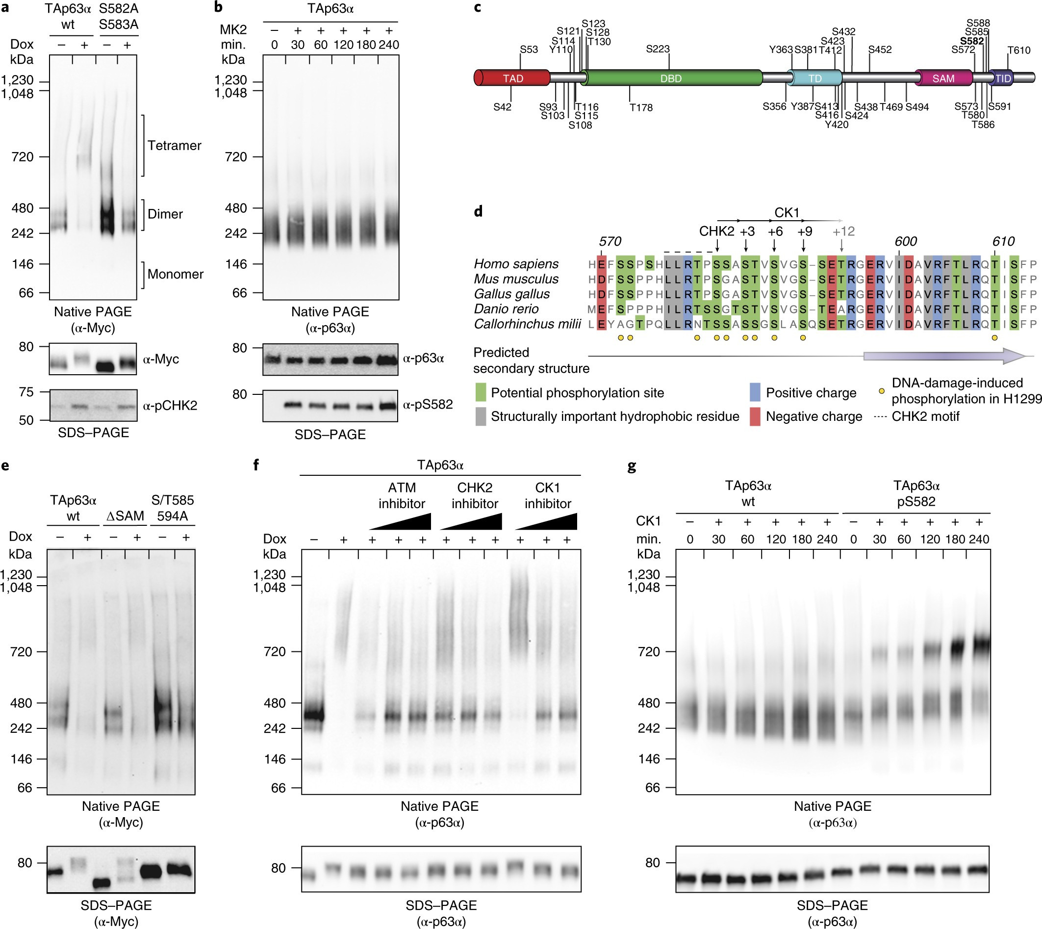 Oocyte DNA damage quality control requires consecutive interplay of ...