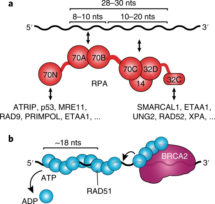 RPA and RAD51: fork reversal, fork protection, and genome stability