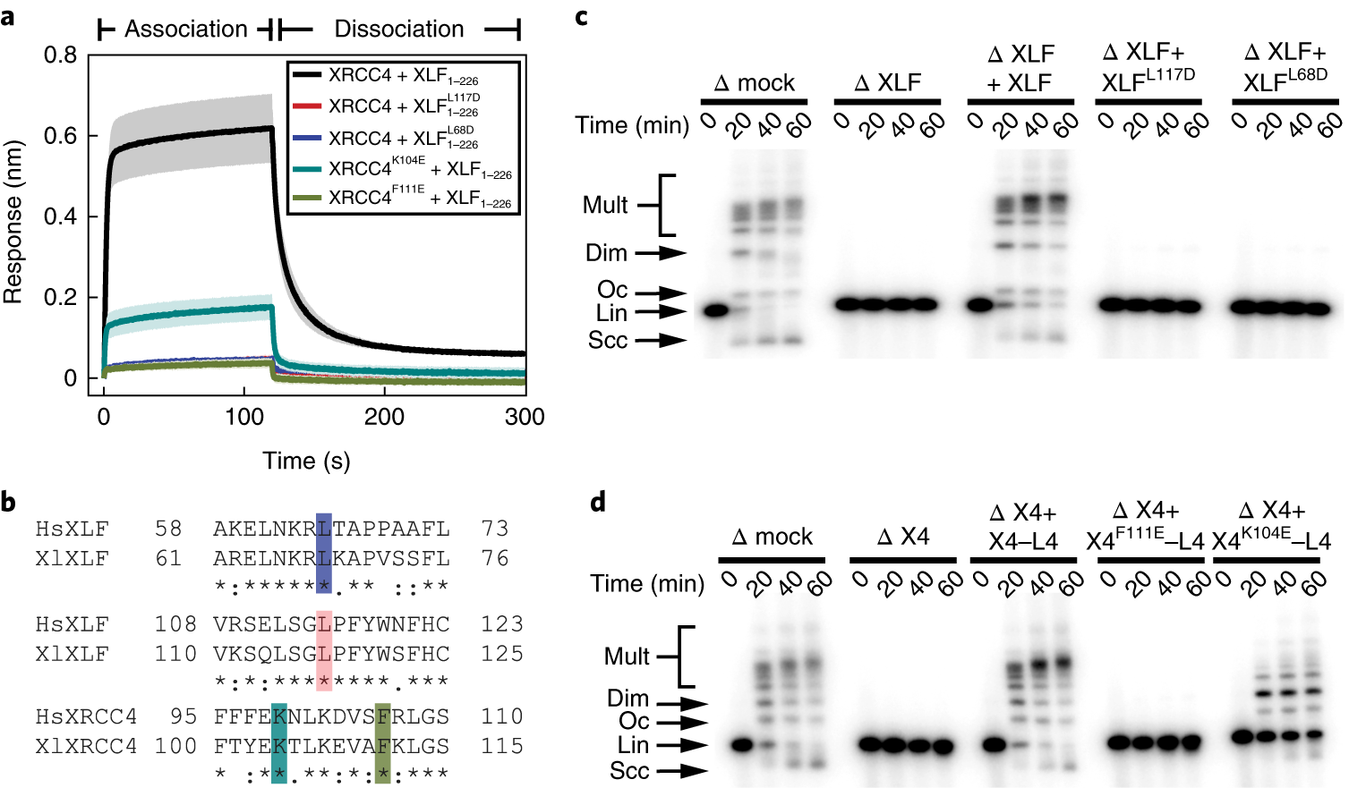 A Single XLF Dimer Bridges DNA Ends During Nonhomologous End Joining