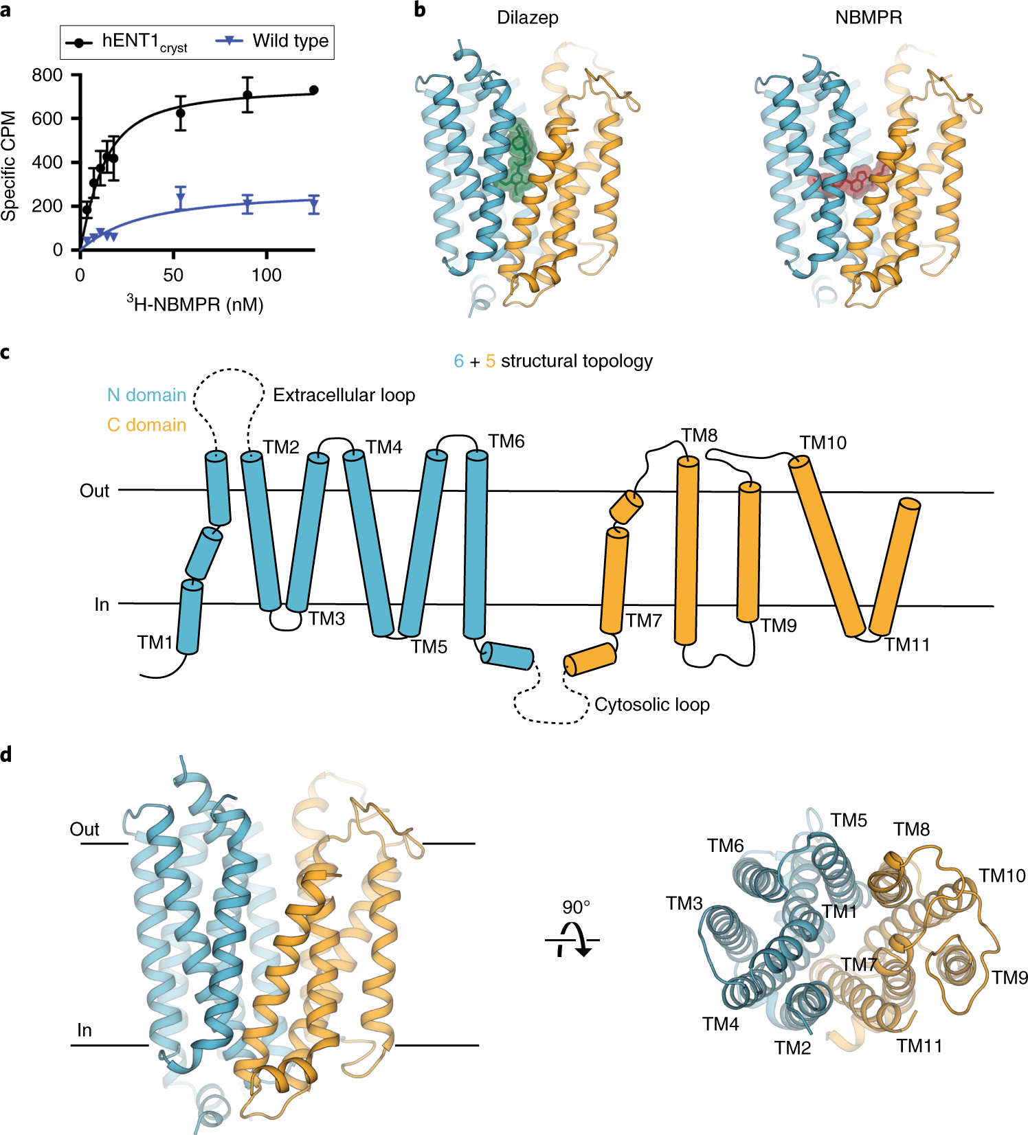 Structures of human ENT1 in complex with adenosine reuptake inhibitors