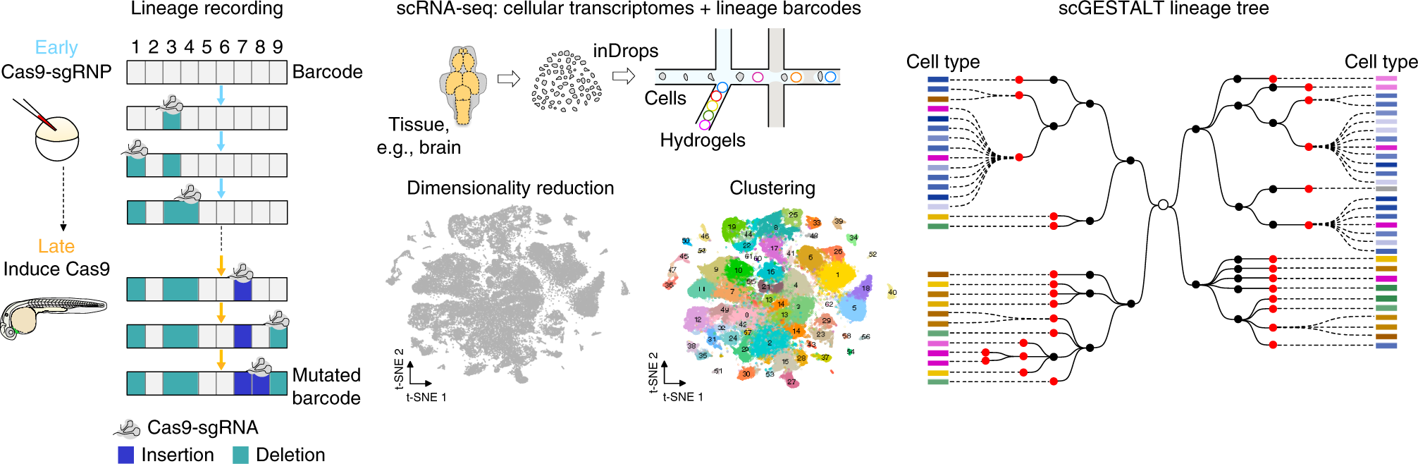 Large-scale reconstruction of cell lineages using single
