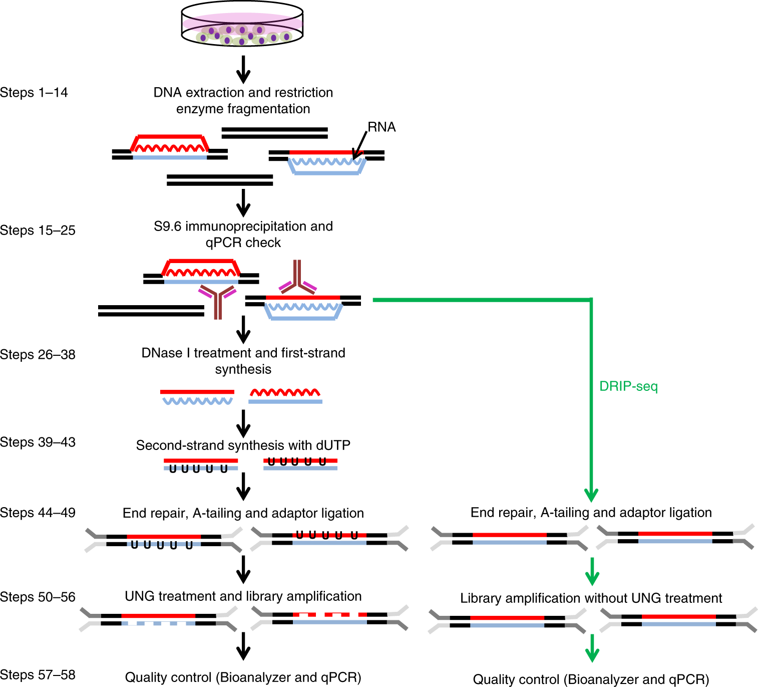 High-resolution, strand-specific R-loop mapping via S9 6-based DNA