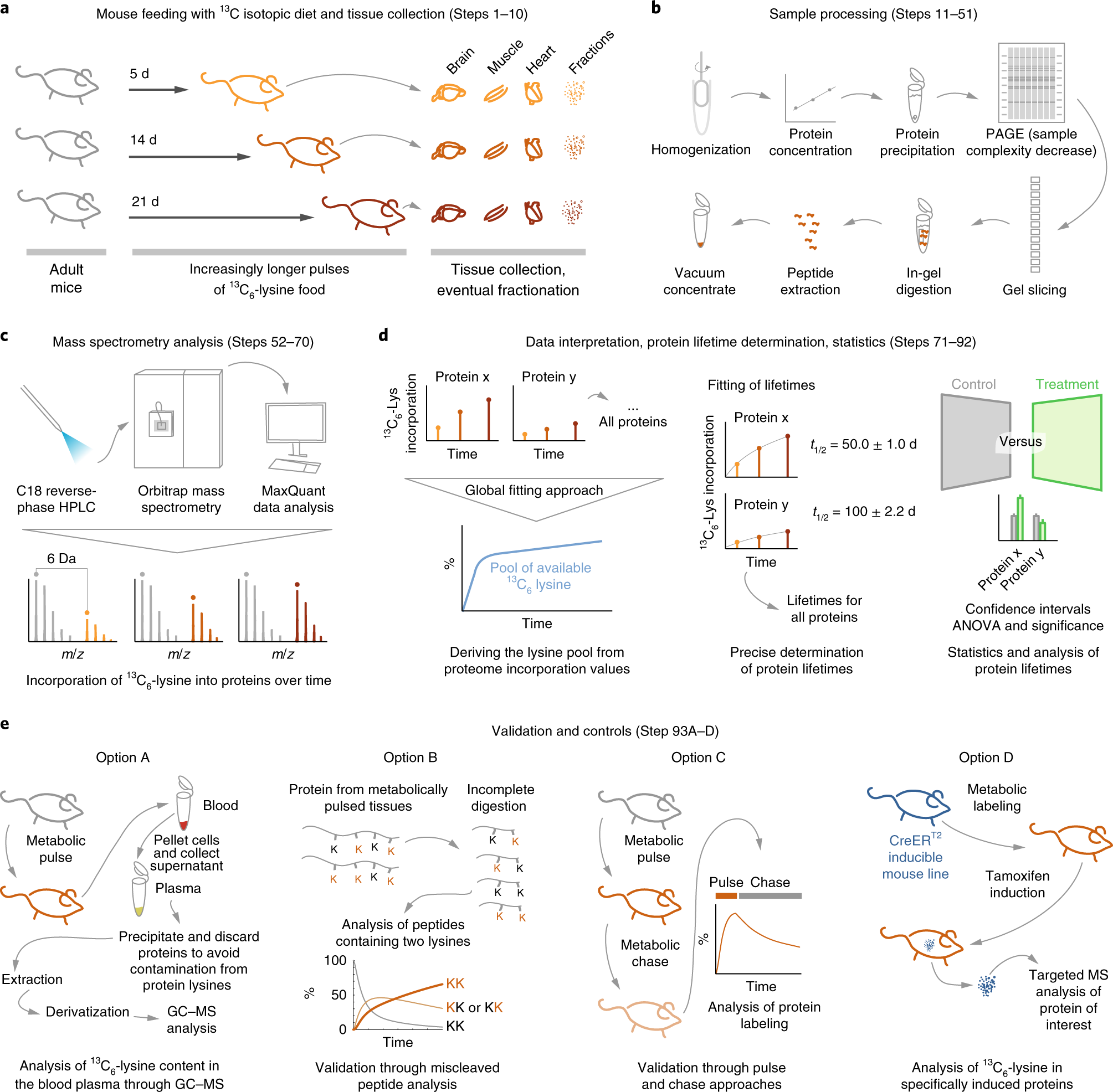 A mass spectrometry workflow for measuring protein turnover rates in v