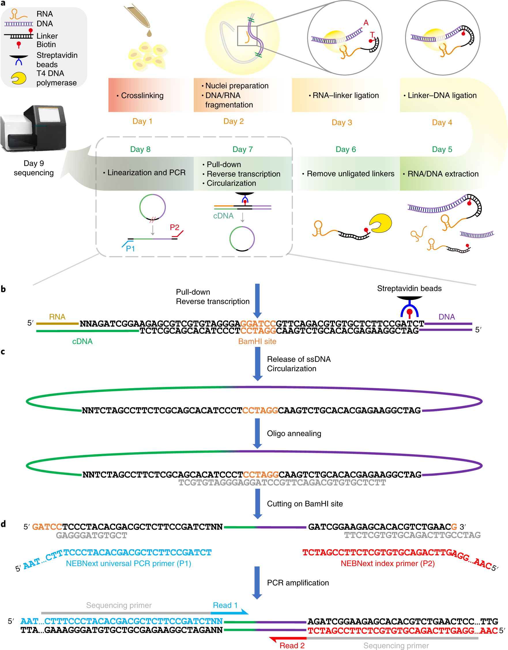 Mapping RNA–chromatin interactions by sequencing with iMARGI