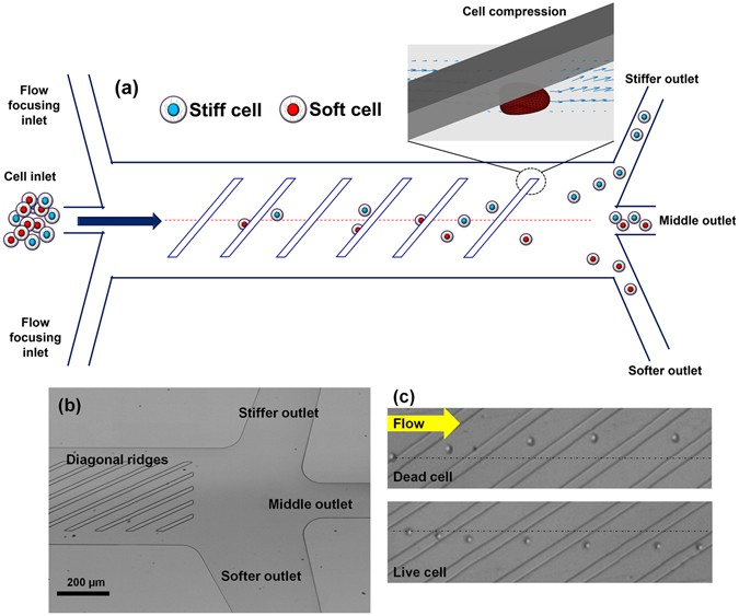 Microfluidic Sorting of Cells by Viability Based on Differences in