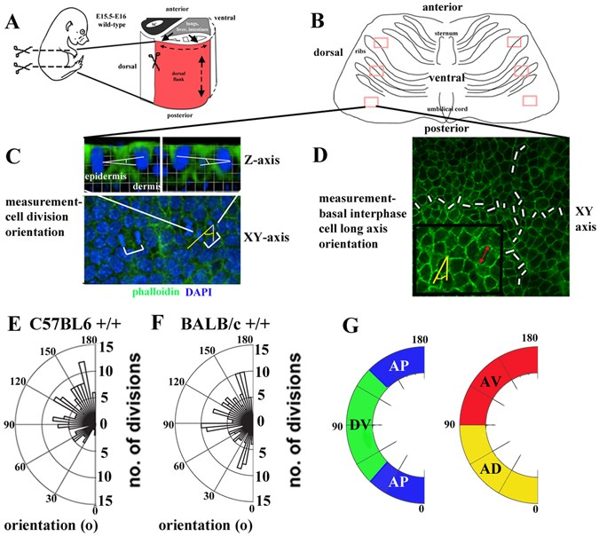 a role for core planar polarity proteins in cell contact mediated