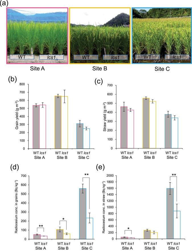 Low-cesium rice: mutation in OsSOS2 reduces radiocesium in