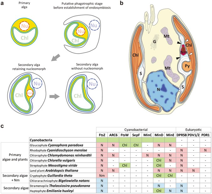 Regulation Of Chloroplast And Nucleomorph Replication By The Cell