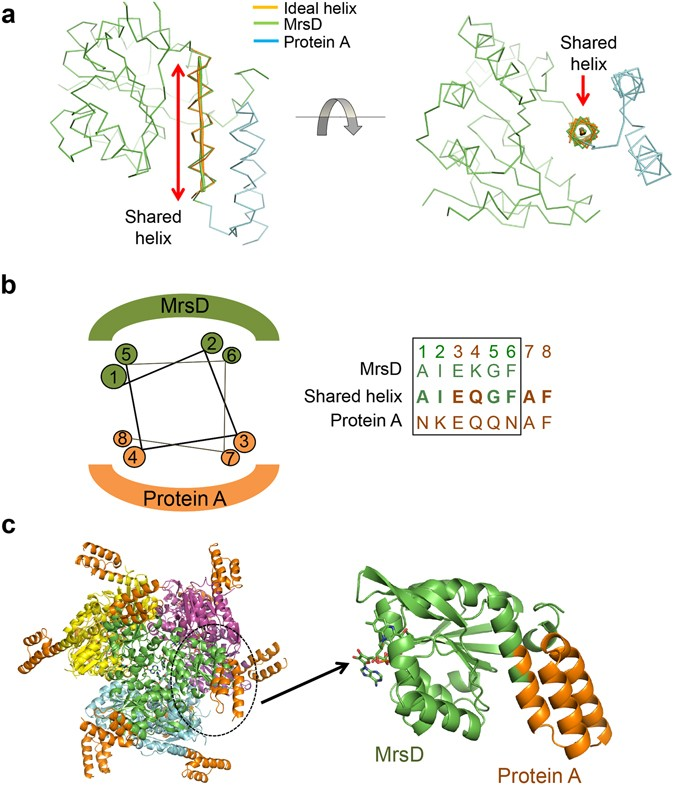 Construction of novel repeat proteins with rigid and