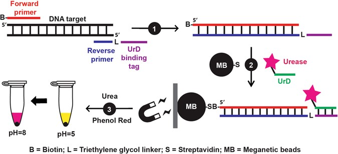 Detection Of Dna Amplicons Of Polymerase Chain Reaction Using Litmus