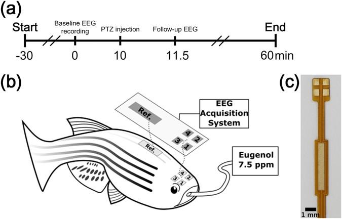 zebrafish as an animal model in epilepsy studies with multichannel