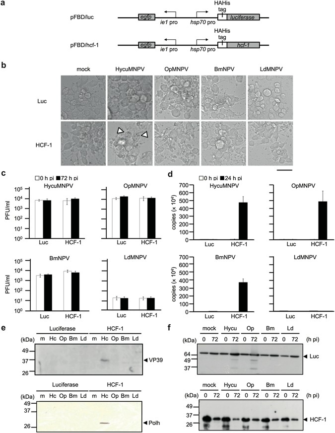 HCF-1 encoded by baculovirus AcMNPV is required for