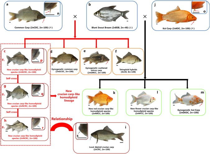A new type of homodiploid fish derived from the interspecific