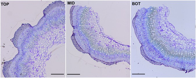 Transcriptomic profiling of hemp bast fibres at different