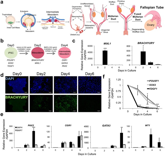 Directed Differentiation Of Human Induced Pluripotent Stem Cells