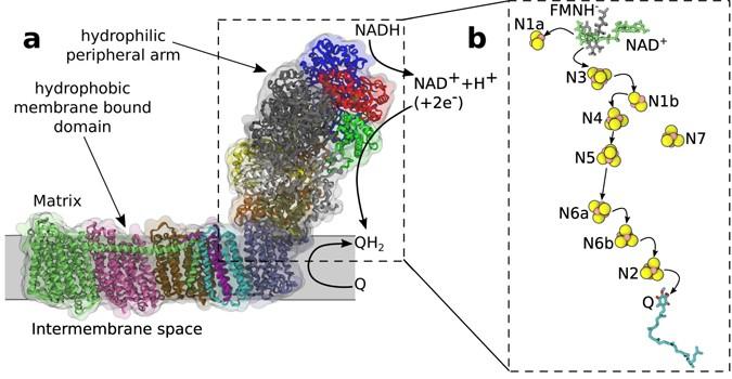 Electron Transfer Chain In Respiratory Complex I Scientific Reports