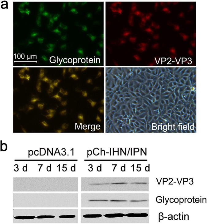 Bivalent DNA vaccine induces significant immune responses against
