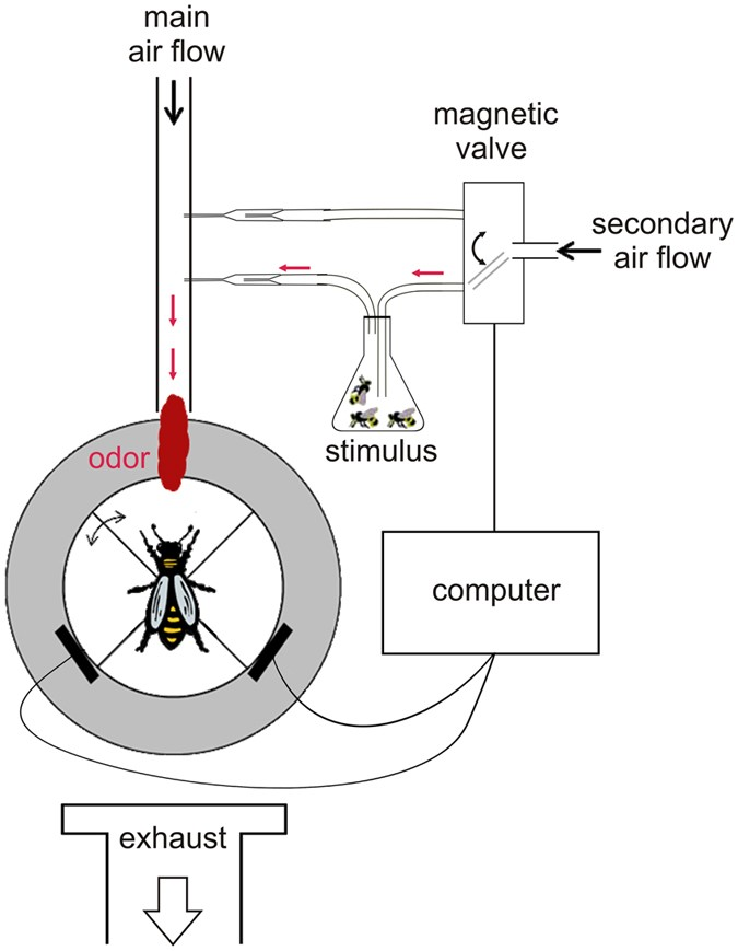 virgin queen attraction toward males in honey bees scientific reports rh nature com