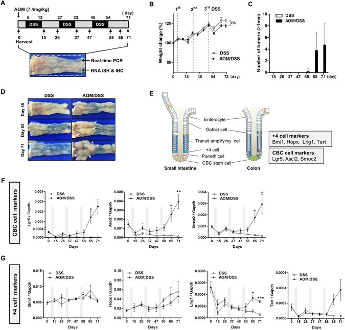 Expression profile of intestinal stem cell markers in