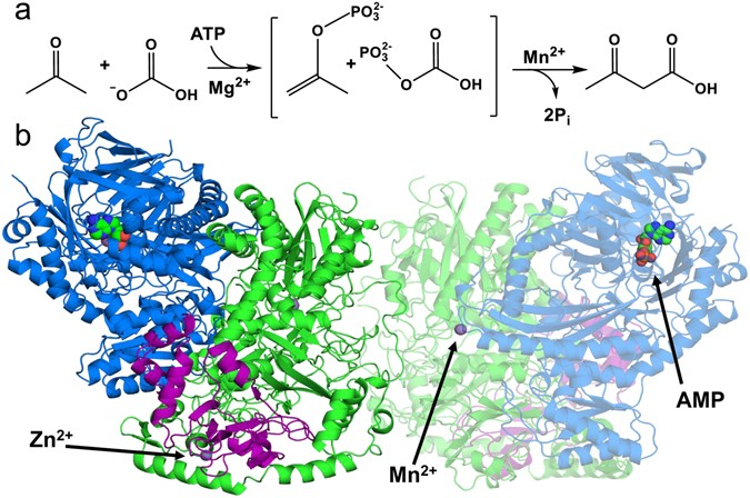 Structural Basis for the Mechanism of ATP-Dependent Acetone