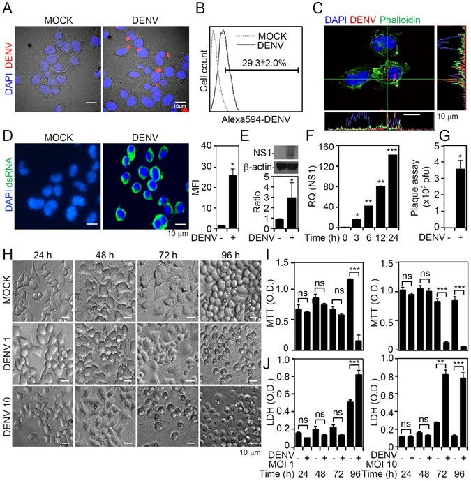 Blockade Of Dengue Virus Infection And Viral Cytotoxicity In Neuronal Cells Vitro Vivo By Targeting Endocytic Pathways Scientific Reports