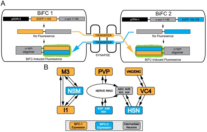 Using BiFC Induced Fluorescence To Monitor Neuron Transfer Of A Synuclein Model Following BiFC1