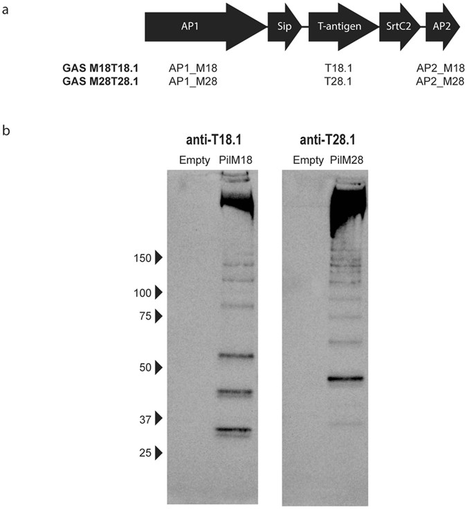 Mucosal Vaccination With Pili From Group A Streptococcus Expressed