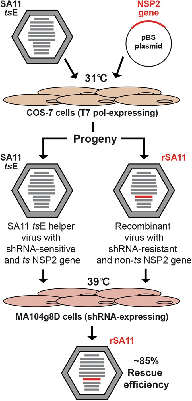 Genetic determinants restricting the reassortment of