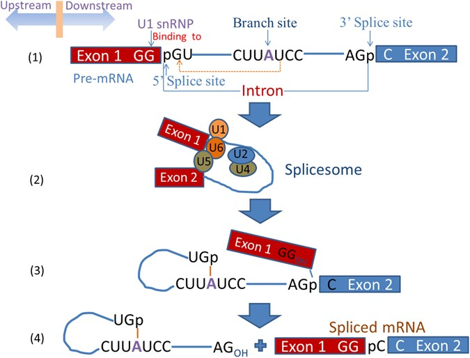 iSS-PC: Identifying Splicing Sites via Physical-Chemical