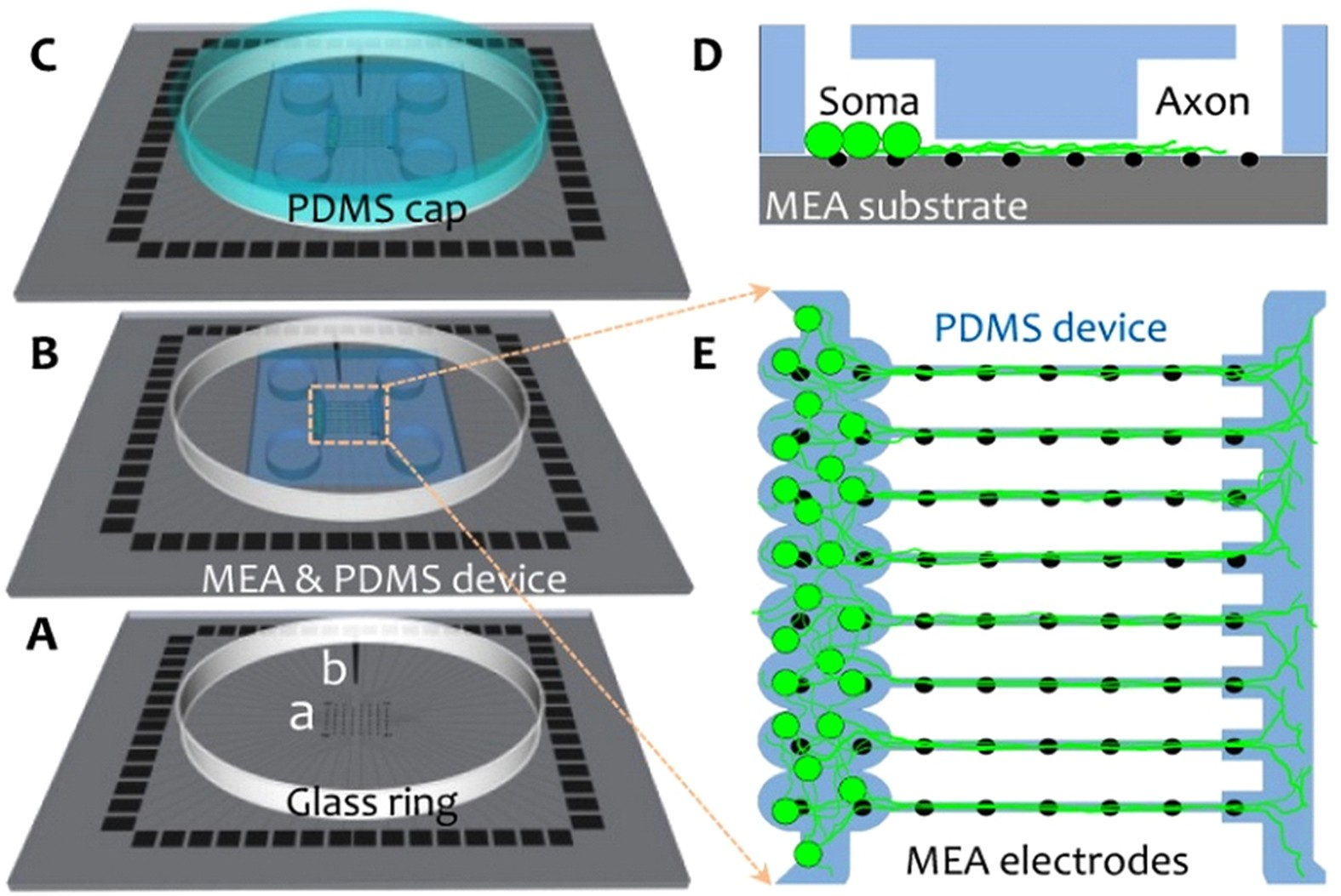 A Multielectrode Array Microchannel Platform Reveals Both Transient Circuits Above Are Totally Unreliable And The Following Should Be Slow Changes In Axonal Conduction Velocity Scientific Reports