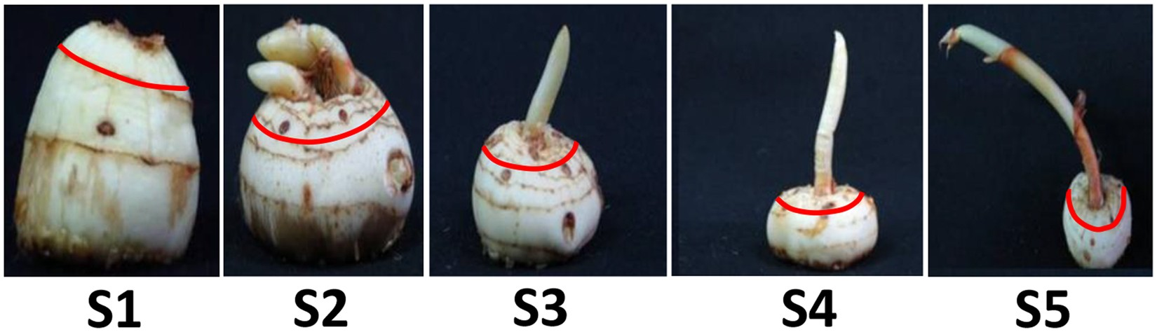 9b7c18b241e8a2 Metabolic shift in sugars and amino acids regulates sprouting in Saffron  corm