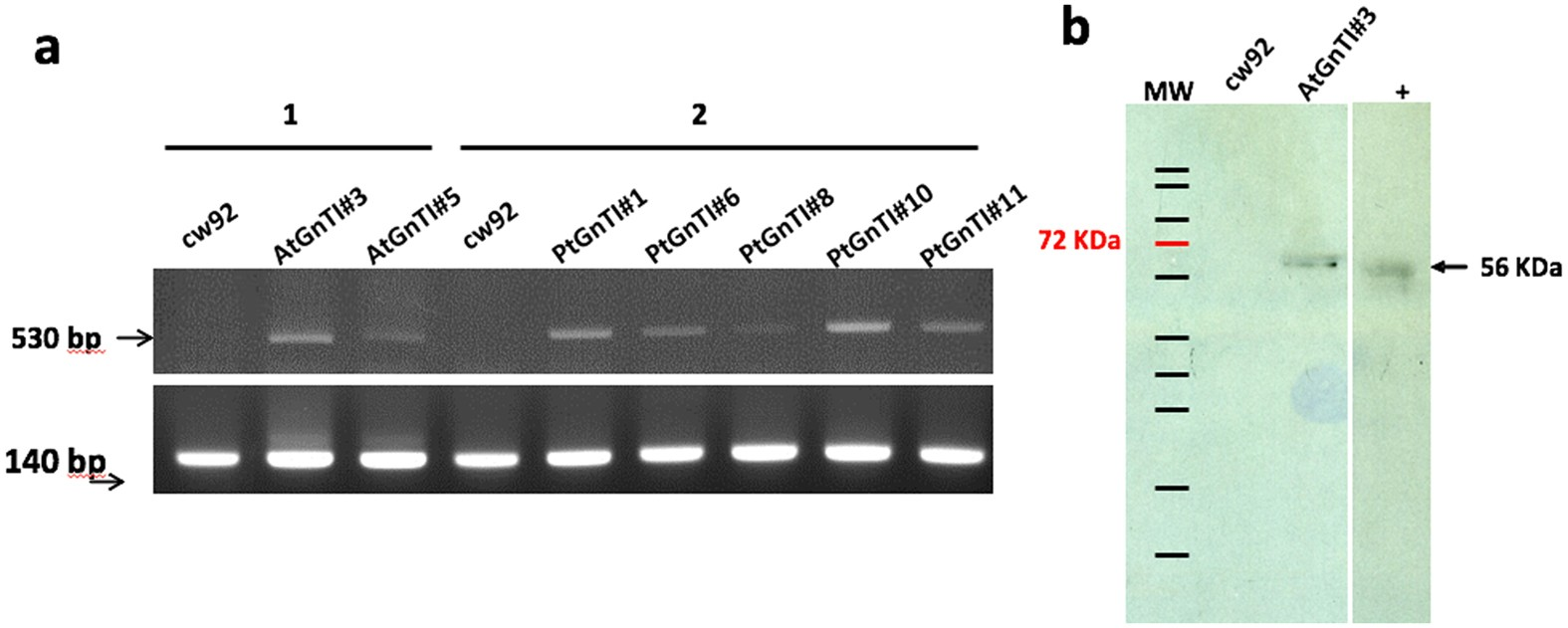 Heterologous Expression Of The N  Acetylglucosaminyltransferase I Dictates  A Reinvestigation Of The N  Glycosylation Pathway In Chlamydomonas  Reinhardtii ...