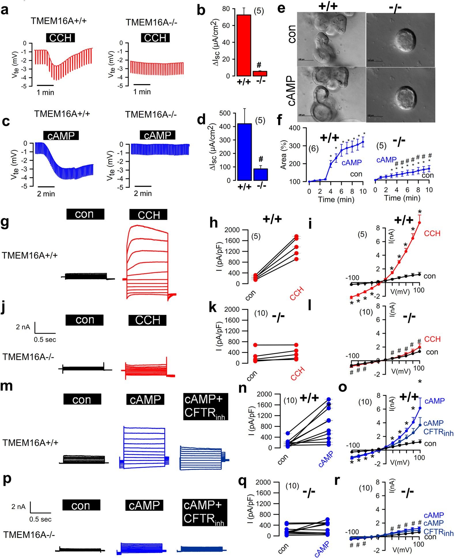 Epithelial Chloride Transport by CFTR Requires TMEM16A