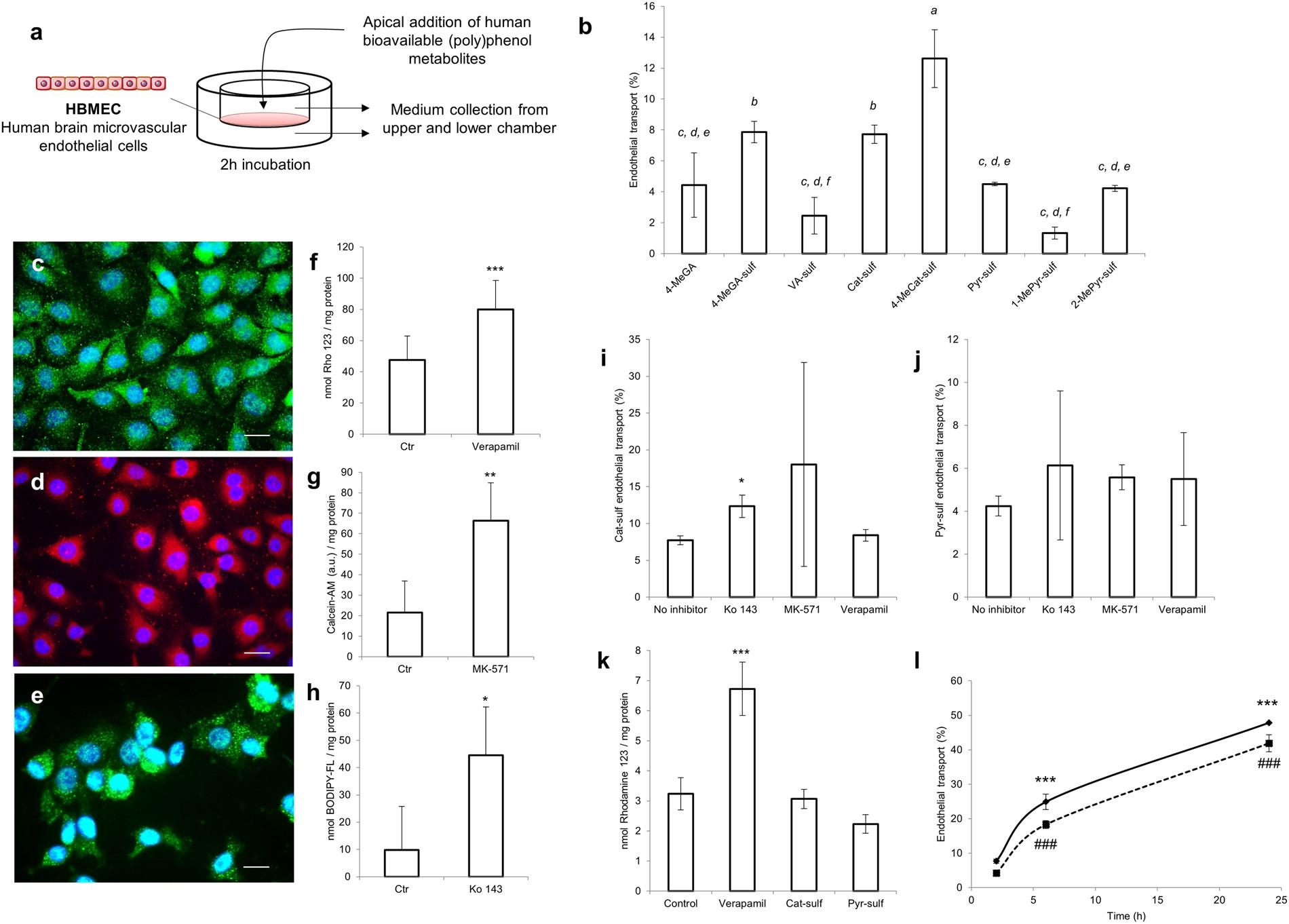 Polyphenols journey through blood-brain barrier towards neuronal ...