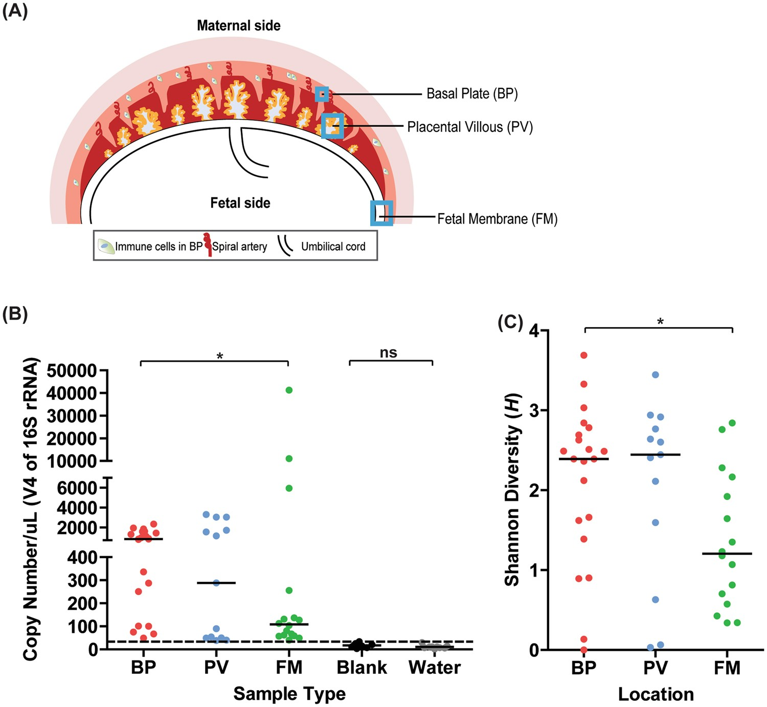 how do normal and transient microbiota differ