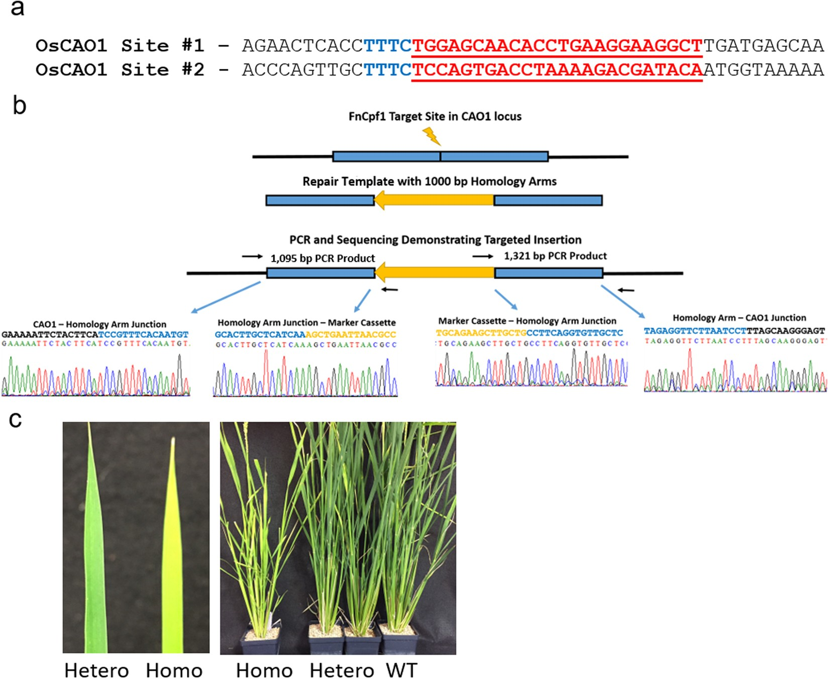 298bd8c94ed1 Precise insertion and guided editing of higher plant genomes using Cpf1  CRISPR nucleases | Scientific Reports
