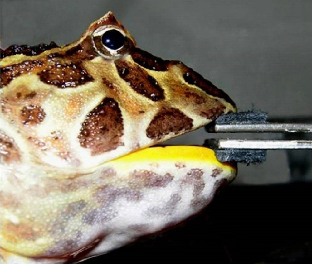 Bite Force In The Horned Frog Ceratophrys Cranwelli With
