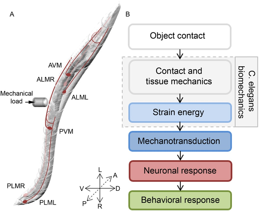 Determining the biomechanics of touch sensation in C. elegans ...