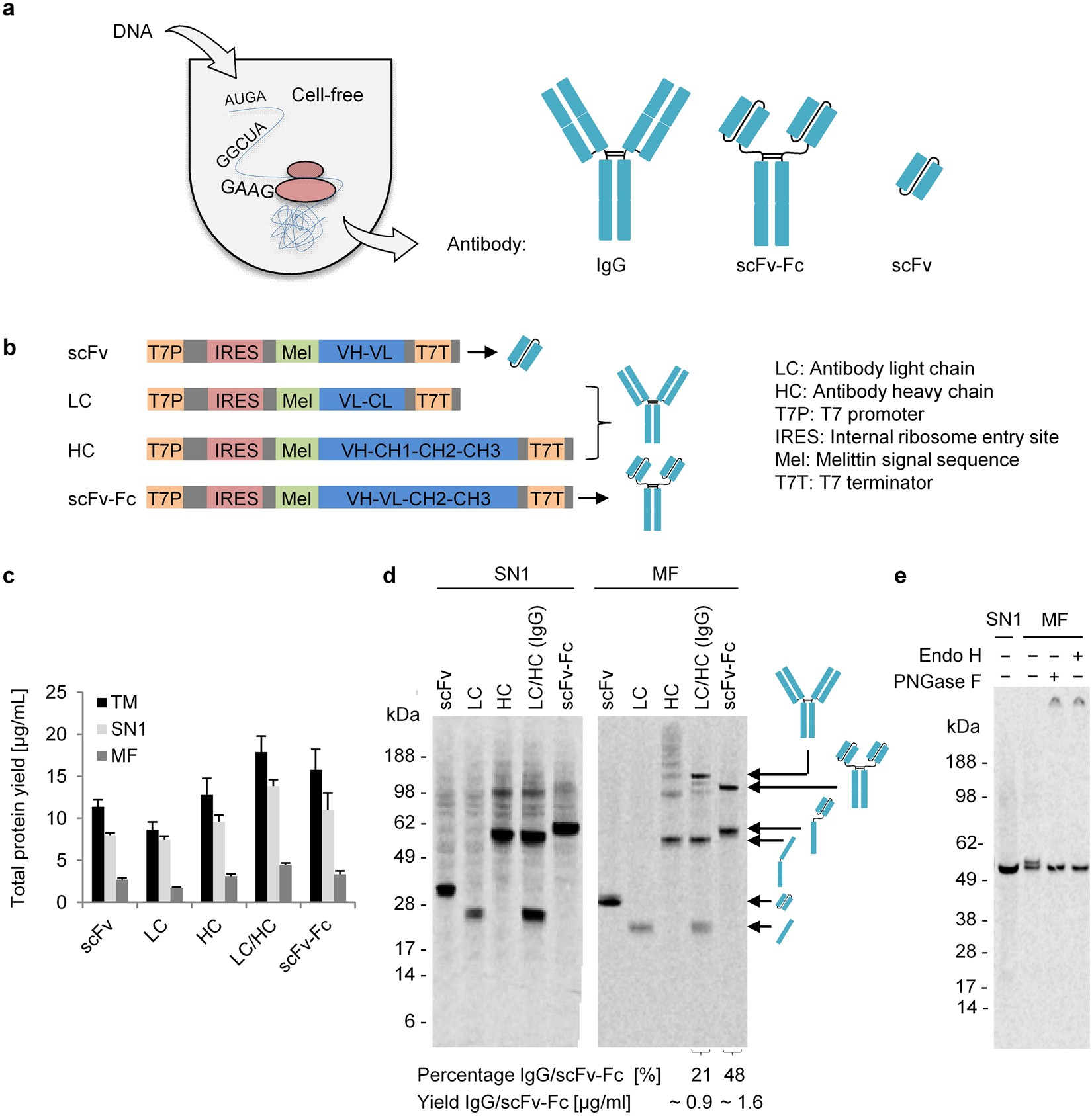 Cell Free Synthesis Of Functional Antibodies Using A Coupled In Labeled Diagram Eukaryotic Lab Manual Vitro Transcription Translation System Based On Cho Lysates Scientific Reports
