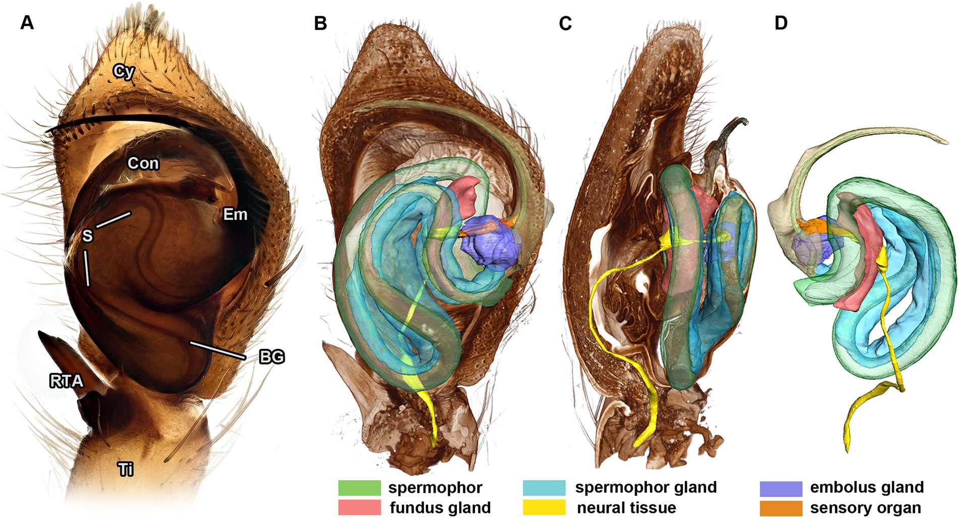 Neurons and a sensory organ in the pedipalps of male spiders reveal ...