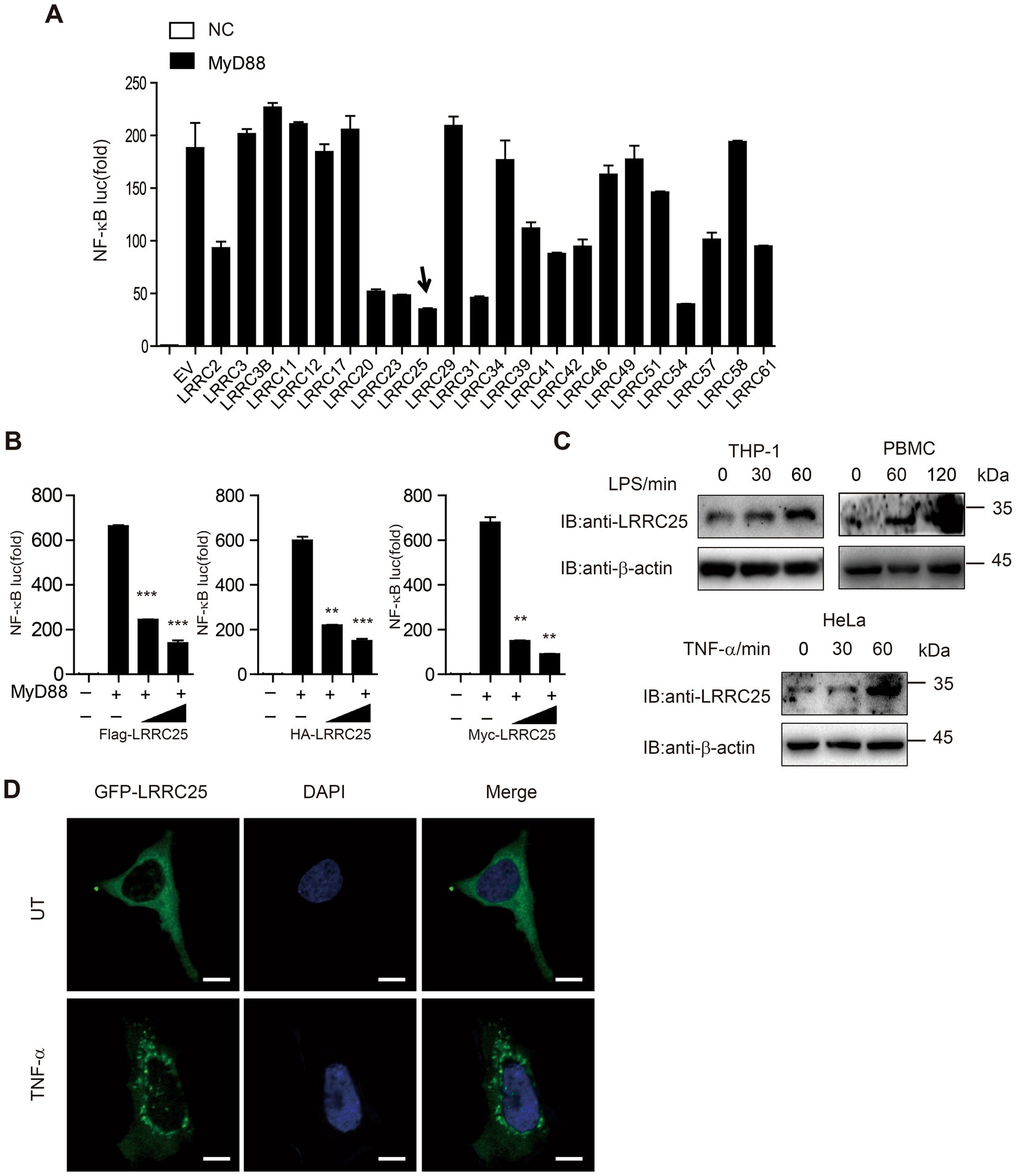 LRRC25 Functions as an Inhibitor of NF-κB Signaling Pathway by Promoting  p65/RelA for Autophagic Degradation | Scientific Reports