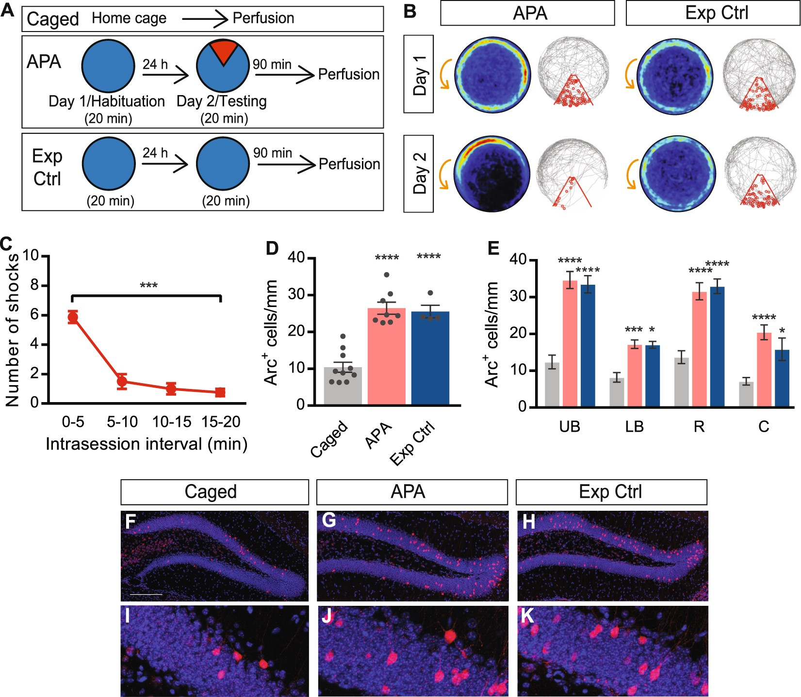 Somatic Arc protein expression in hippocampal granule cells is increased in  response to environmental change but independent of task-specific learning  ...