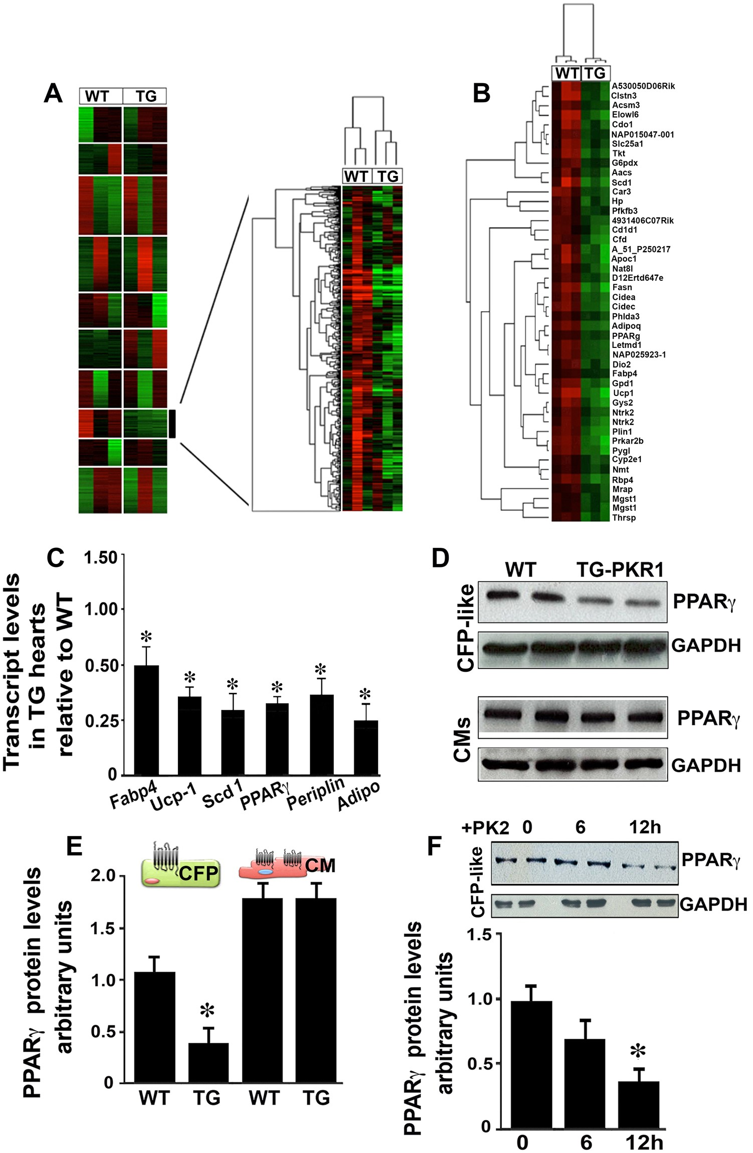 Prokineticin receptor-1-dependent paracrine and autocrine pathways control  cardiac tcf21 + fibroblast progenitor cell transformation into adipocytes  and ...