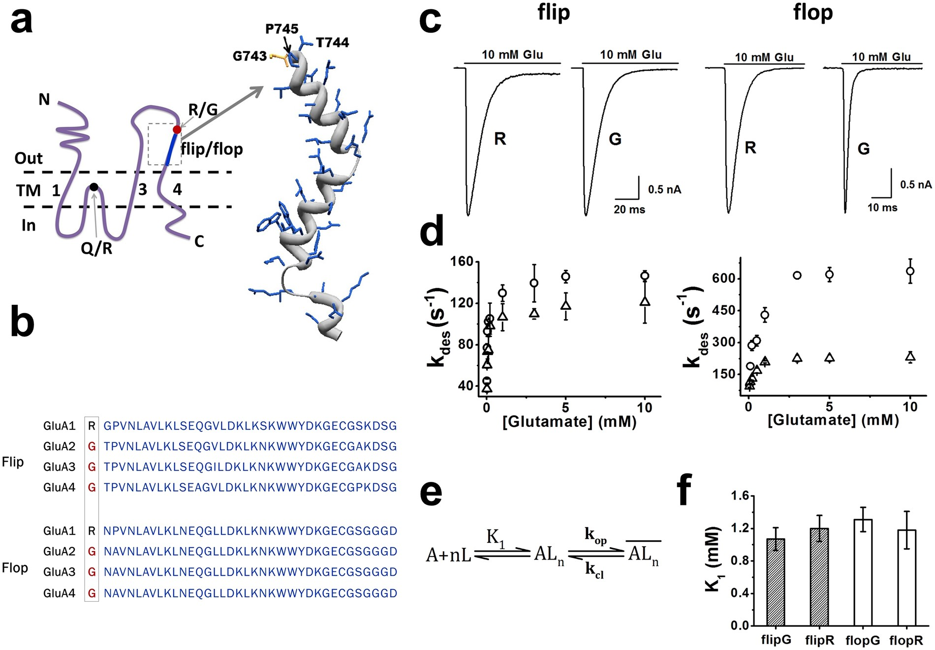 e923fa375 R G editing in GluA2R flop modulates the functional difference between  GluA1 flip and flop variants in GluA1 2R heteromeric channels