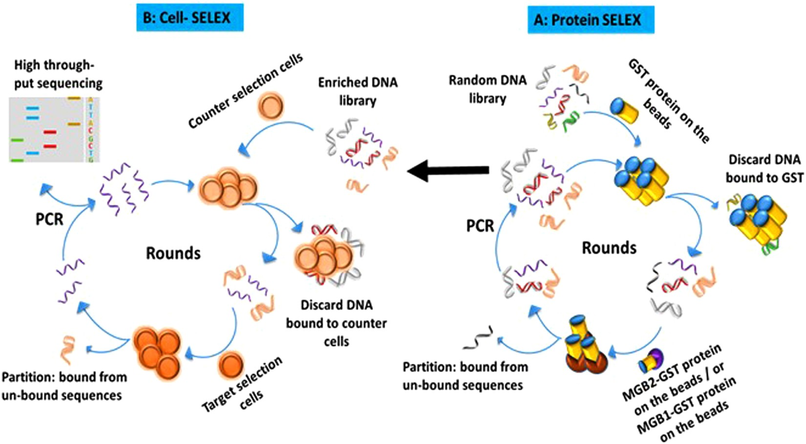 In vitro selections of mammaglobin A and mammaglobin B aptamers for
