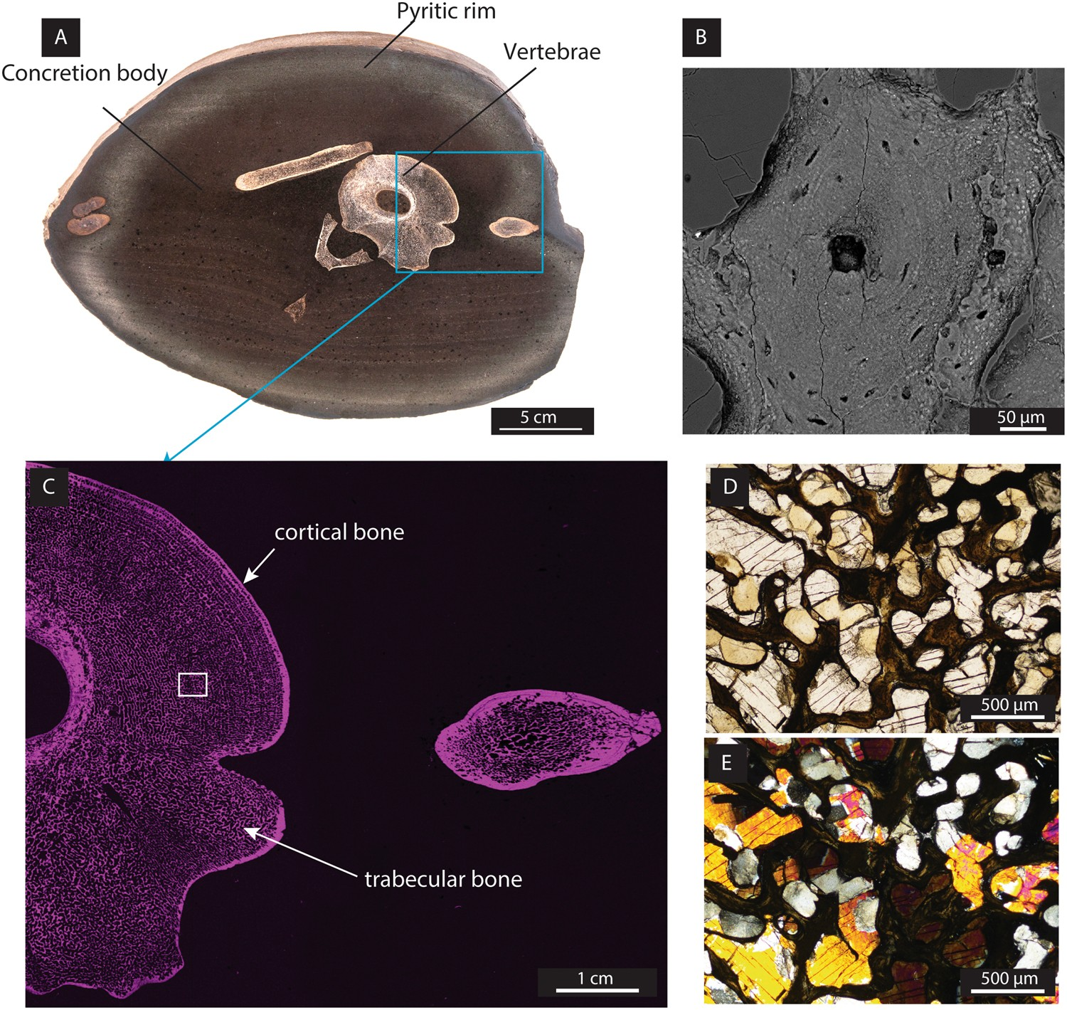 Palaeobiology Of Red And White Blood Cell Like Structures Collagen Human Diagram Cells Overview Stock Cholesterol In An Ichthyosaur Bone Scientific Reports