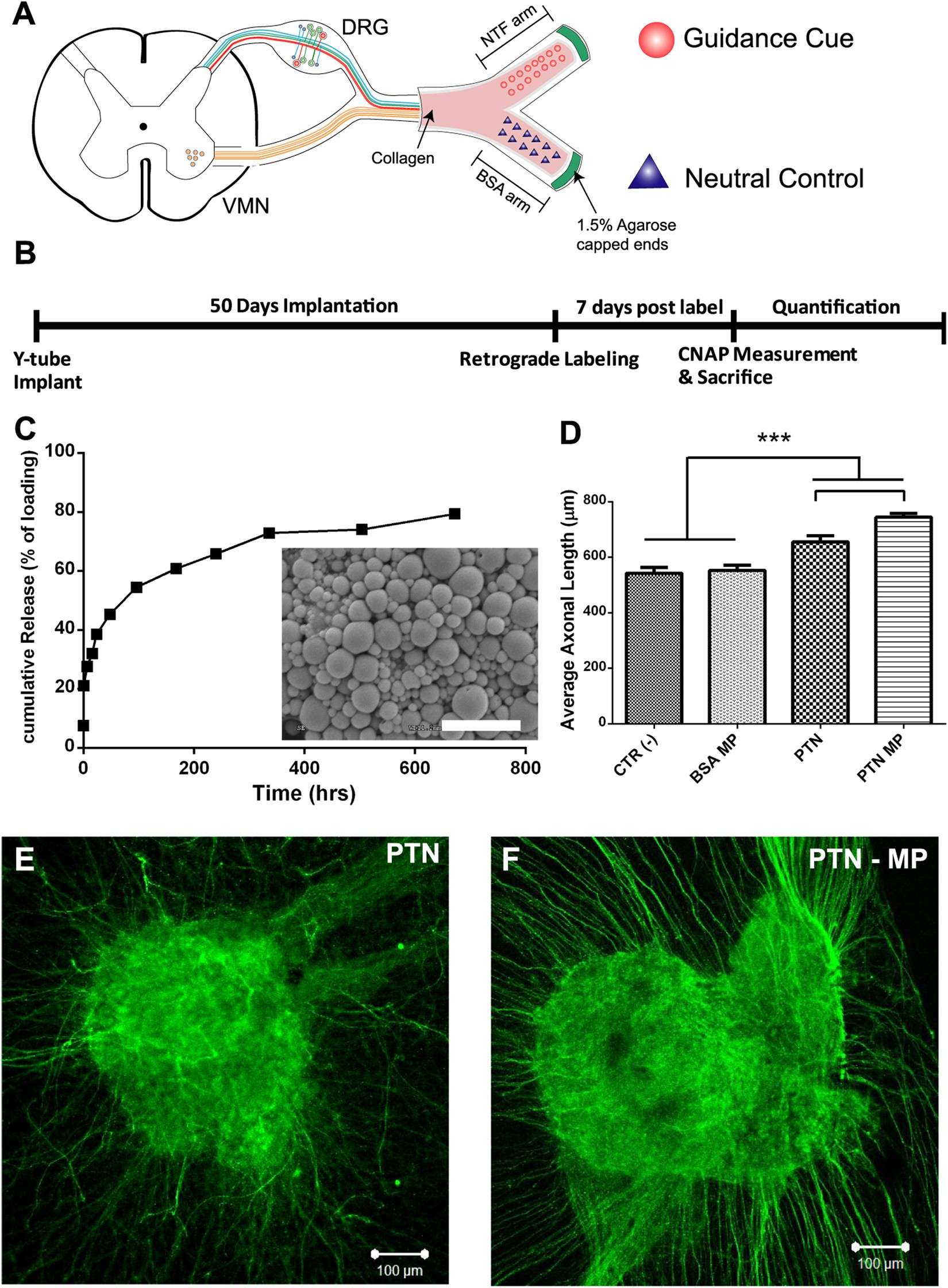 b1f65bea354 Asymmetric Sensory-Motor Regeneration of Transected Peripheral Nerves Using  Molecular Guidance Cues