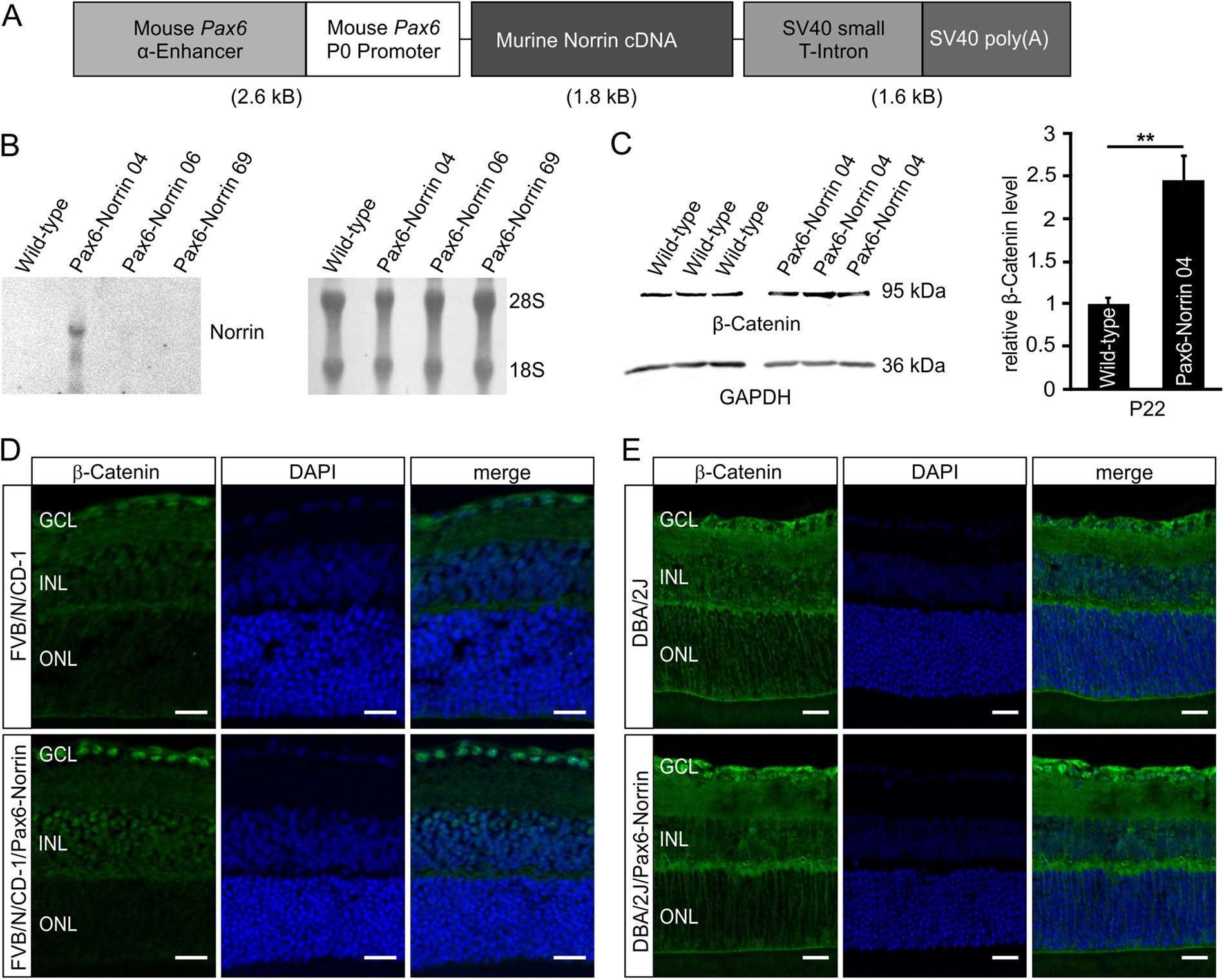 Norrin protects optic nerve axons from degeneration in a mouse model ...