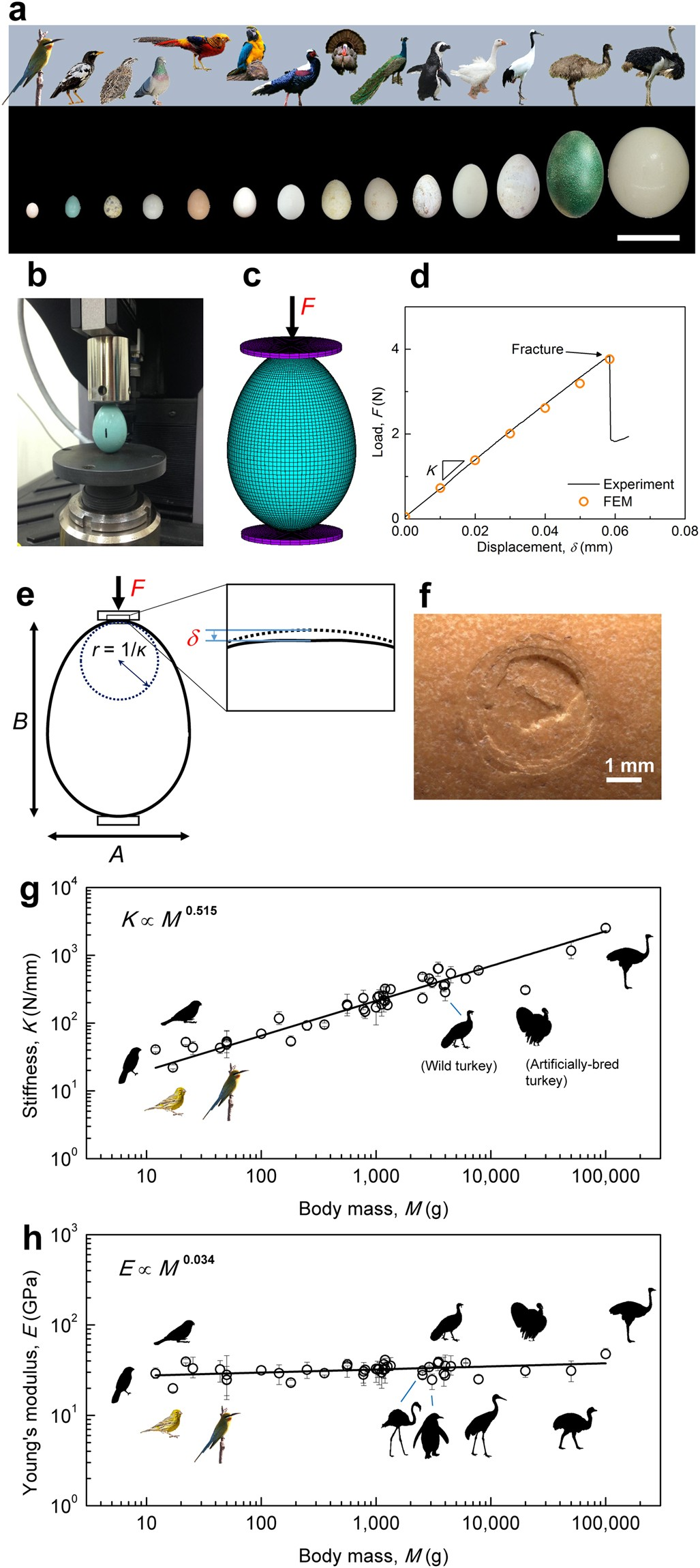 The avian egg exhibits general allometric invariances in mechanical design  | Scientific Reports